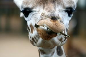 chewing_giraffe